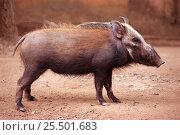 Bush pig {Potamochoerus larvatus} Madagascar. Стоковое фото, фотограф Nick Garbutt / Nature Picture Library / Фотобанк Лори