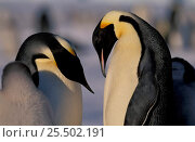 Emperor penguins courtship {Aptenodytes forsteri} Antarctica Auster EP Rookery. Стоковое фото, фотограф Pete Oxford / Nature Picture Library / Фотобанк Лори