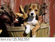Купить «Beagle dog puppy {Canis familiaris}», фото № 25502551, снято 20 июля 2018 г. (c) Nature Picture Library / Фотобанк Лори