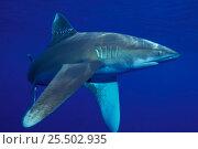 Купить «Oceanic whitetip shark {Carcharhinus longimanus} Hawaii. NOT FOR SALE IN USA», фото № 25502935, снято 16 января 2018 г. (c) Nature Picture Library / Фотобанк Лори
