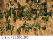 Купить «Blue headed parrots {Pionus menstruus} at clay lick to feed on minerals, Madre de Dios, Amazonia, Peru, South America», фото № 25503203, снято 24 марта 2019 г. (c) Nature Picture Library / Фотобанк Лори