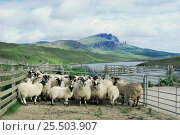 Penned Domestic sheep {Ovis aries}, Isle of Skye, Scotland. Стоковое фото, фотограф Terry Andrewartha / Nature Picture Library / Фотобанк Лори