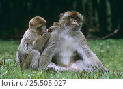 Купить «Barbary apes grooming {Macaca sylvanus} Captive, from North Africa», фото № 25505027, снято 25 января 2020 г. (c) Nature Picture Library / Фотобанк Лори