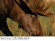 Купить «Moose bull grazing {Alces alces} captive, Sweden.», фото № 25506651, снято 18 января 2019 г. (c) Nature Picture Library / Фотобанк Лори