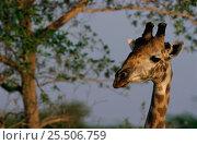 Купить «Masai giraffe head portrait {Giraffa camelopardalis tippelski}, Selous GR, Tanzania», фото № 25506759, снято 25 мая 2019 г. (c) Nature Picture Library / Фотобанк Лори