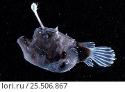 Купить «Female Angler fish {Himantolophus sp} deep sea species», фото № 25506867, снято 15 августа 2018 г. (c) Nature Picture Library / Фотобанк Лори