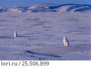 Купить «Arctic hares on ice {Lepus arcticus} Canada.», фото № 25506899, снято 15 августа 2018 г. (c) Nature Picture Library / Фотобанк Лори