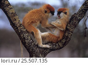 Купить «Patas monkeys {Erythrocebus patas} two fighting in tree, Kenya», фото № 25507135, снято 14 ноября 2019 г. (c) Nature Picture Library / Фотобанк Лори