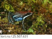 Купить «Poison arrow frog {Dendrobates zaparo} Amazonian Ecuador», фото № 25507631, снято 20 мая 2019 г. (c) Nature Picture Library / Фотобанк Лори
