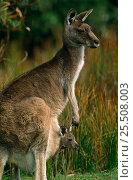 Купить «RF- Eastern grey kangaroo with joey (Macropus giganteus). Wilsons Promontory National Park, Victoria, Australia.», фото № 25508003, снято 22 января 2019 г. (c) Nature Picture Library / Фотобанк Лори