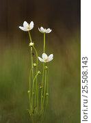 Купить «Grass of Parnassus {Parnasia palustris} Peak District NP, UK Derbyshire», фото № 25508143, снято 17 июля 2018 г. (c) Nature Picture Library / Фотобанк Лори