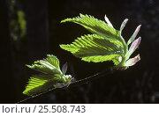 Купить «Wych Elm leaves opening {Ulmus glabra} England, UK. May», фото № 25508743, снято 15 августа 2018 г. (c) Nature Picture Library / Фотобанк Лори