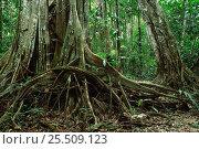 Купить «Fig tree {Ficus) buttress roots in tropical rainforest Manu NP, Peru, South America», фото № 25509123, снято 23 марта 2019 г. (c) Nature Picture Library / Фотобанк Лори