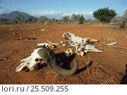Skeletal remains of African buffalo {Syncerus caffer} Tsavo NP, Kenya. Стоковое фото, фотограф Jabruson / Nature Picture Library / Фотобанк Лори