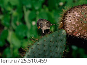 Купить «Large cactus ground finch {Geospiza conirostris} on cactus, Tower Island, Galapagos», фото № 25510459, снято 25 апреля 2019 г. (c) Nature Picture Library / Фотобанк Лори