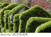 Купить «Moss growing on stone parapet of old bridge Scotland, UK Inverness-shire», фото № 25510635, снято 20 февраля 2018 г. (c) Nature Picture Library / Фотобанк Лори