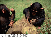 Young Chimpanzees using grass stems to extract termites from mound {Pan troglodytes} in sanctuary, Kenya. Стоковое фото, фотограф Karl Ammann / Nature Picture Library / Фотобанк Лори