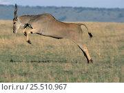 Eland leaping {Taurotragus oryx} Masai Mara, Kenya. Стоковое фото, фотограф Anup Shah / Nature Picture Library / Фотобанк Лори