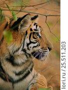 Купить «RF- Young male Bengal tiger, head portrait in profile (Panthera tigris tigris). Bandhavgarh National Park, India.», фото № 25511203, снято 22 января 2019 г. (c) Nature Picture Library / Фотобанк Лори