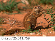 Cape ground squirrel feeding {Xerus inauris} Kgalagadi NP, South Africa. Стоковое фото, фотограф Pete Oxford / Nature Picture Library / Фотобанк Лори