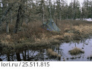 Купить «Camouflage tent for filming Hooded crane {Grus monacha} Primorsky, Far East Russia», фото № 25511815, снято 26 апреля 2019 г. (c) Nature Picture Library / Фотобанк Лори