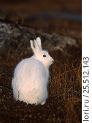 Купить «Arctic hare {Lepus arcticus} Churchill, Manitoba, Canada», фото № 25512143, снято 15 августа 2018 г. (c) Nature Picture Library / Фотобанк Лори