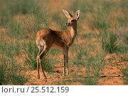Young male Steenbok {Raphicerus campestris} Kgalagadi NP, South Africa. Стоковое фото, фотограф Pete Oxford / Nature Picture Library / Фотобанк Лори