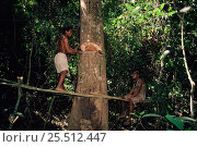 Купить «Bambuti pygmies cutting forest tree Epulu rainforest, Zaire, Africa The Republic Of The Congo», фото № 25512447, снято 12 февраля 2020 г. (c) Nature Picture Library / Фотобанк Лори