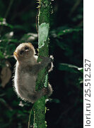 Juvenile Potto climbing tree at night (Perodicticus potto ibeanus) Ituri Rainforest Reserve, Congo. Стоковое фото, фотограф Jabruson / Nature Picture Library / Фотобанк Лори