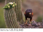Harris's hawk {Parabuteo unicinctus} feeding young at nest, Sonoran... Стоковое фото, фотограф John Cancalosi / Nature Picture Library / Фотобанк Лори