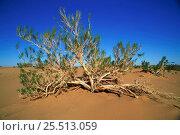 Купить «Gobi Desert landscape with Saxaul plant {Haloxylon ammodendron}, Mongolia.», фото № 25513059, снято 6 июля 2020 г. (c) Nature Picture Library / Фотобанк Лори