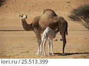 Купить «Young Dromedary camel suckling from mother {Camelus dromedarius}, Wahiba Sands, Oman», фото № 25513399, снято 16 июля 2018 г. (c) Nature Picture Library / Фотобанк Лори