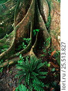 Купить «Buttress root of fig tree {Ficus sp} in rainforest Yasuni NP, Ecuador», фото № 25513827, снято 23 марта 2019 г. (c) Nature Picture Library / Фотобанк Лори