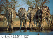 Common zebra (Equus quagga) drinking. Zimbabwe, Southern Africa. Стоковое фото, фотограф John Cancalosi / Nature Picture Library / Фотобанк Лори