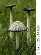Купить «Shaggy inkcap fungi showing liquefaction for spore dispersal {Coprinus comatus} UK Derbyshire», фото № 25514635, снято 14 декабря 2017 г. (c) Nature Picture Library / Фотобанк Лори