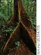 Купить «Tree buttress roots - special adaptation for shallow soils in tropical rainforest. Manu NP Peru.», фото № 25514715, снято 23 марта 2019 г. (c) Nature Picture Library / Фотобанк Лори