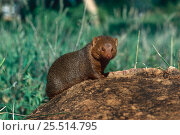 Dwarf mongoose {Helogale undulata rufula} Tsavo West NP, Kenya. Стоковое фото, фотограф Jabruson / Nature Picture Library / Фотобанк Лори