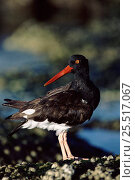 Купить «American oystercatcher, Galapagos.», фото № 25517067, снято 24 января 2020 г. (c) Nature Picture Library / Фотобанк Лори