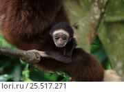 White-handed gibbon baby. Endangered species native to South East Asia. Стоковое фото, фотограф Anup Shah / Nature Picture Library / Фотобанк Лори