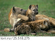 Spotted hyaena {Crocuta crocuta} mother with cubs, Masai Mara NP, Kenya. Стоковое фото, фотограф Mary McDonald / Nature Picture Library / Фотобанк Лори