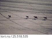Defassa waterbucks on soda flats, Lake Nakaru NP, Kenya. Стоковое фото, фотограф Jabruson / Nature Picture Library / Фотобанк Лори