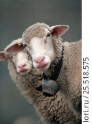 White faced Domestic sheep {Ovis aries} wearing collar with bell,... Стоковое фото, фотограф John Cancalosi / Nature Picture Library / Фотобанк Лори
