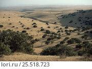 Купить «Wild Pistachio trees (Pistacia sp) in Badkhyz desert, Turkmenistan, CIS», фото № 25518723, снято 14 августа 2018 г. (c) Nature Picture Library / Фотобанк Лори