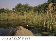 Купить «Travel by dugout canoe through reeds {Phragmites australis} Okavango Delta, Botswana», фото № 25518999, снято 25 марта 2019 г. (c) Nature Picture Library / Фотобанк Лори