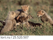 Cheetah cubs learning to hunt with Thomsons gazelle fawn provided by their mother, Masai Mara, Kenya. Стоковое фото, фотограф Anup Shah / Nature Picture Library / Фотобанк Лори