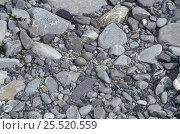 Купить «Wrybill (Anarhynchus frontalis) eggs amongst rocks, New Zealand, vulnerable species», фото № 25520559, снято 18 января 2019 г. (c) Nature Picture Library / Фотобанк Лори