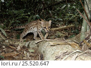 Купить «Margay. Panama Gamboa. Wild but semi-tame.», фото № 25520647, снято 20 марта 2019 г. (c) Nature Picture Library / Фотобанк Лори