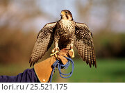 Peregrine falcon on falconer's hand,  England UK. Стоковое фото, фотограф Nick Garbutt / Nature Picture Library / Фотобанк Лори