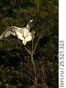 Купить «Snowy egrets mating (Egretta thula) Florida, USA», фото № 25521323, снято 5 июля 2020 г. (c) Nature Picture Library / Фотобанк Лори