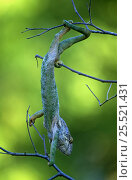 Warty chameleon climbing on branches. {Chamaeleo verrucosus} Madagascar, Berenty. Стоковое фото, фотограф Nick Garbutt / Nature Picture Library / Фотобанк Лори
